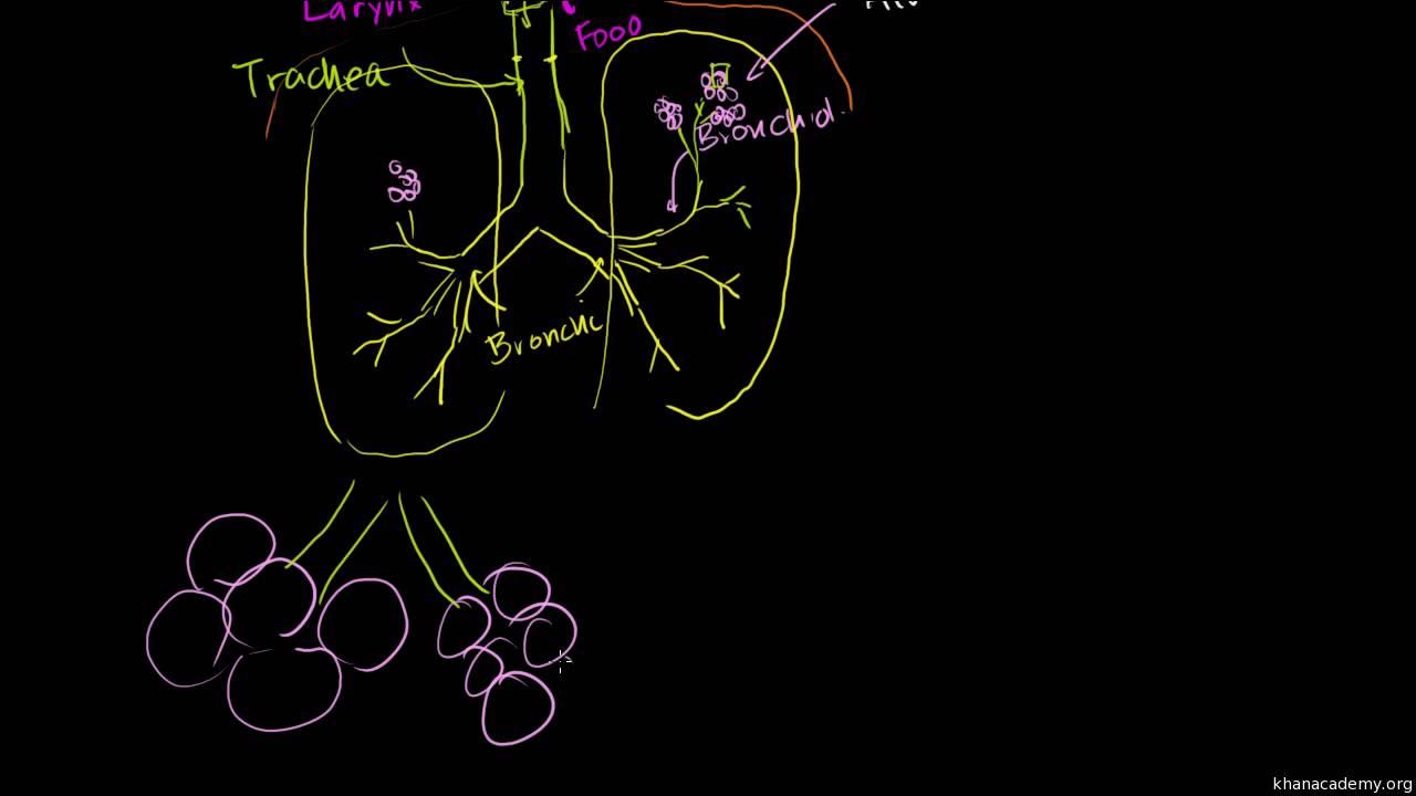 הריאות ומערכת הריאות