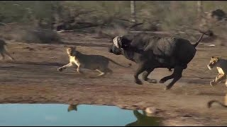 SafariLive- Huge buffalo bull escapes from the Nkuhuma lion pride!