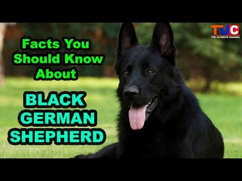 Black German Shepherd Facts You Should Know About : TUC