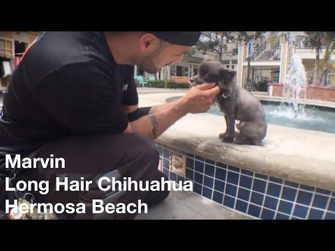 Marvin | Chihuahua | Hermosa Beach, CA