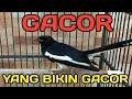 Burung Kacer Gacor Burung Lain Tidak Mungkin Diam Pasti Nyahut Ikut Gacor  Mp3 - Mp4 Download