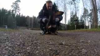 Dachshund Håkan On Patrol With Gopro