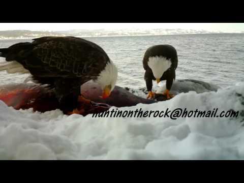 Bald Eagle's feeding.