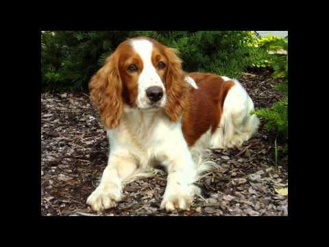 Вельш- Спрингер-Спаниель/Welsh Springer Spaniel (порода собак HD slide show)!