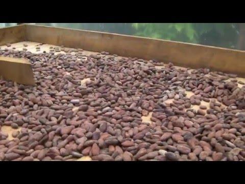 préparation du chocolat depuis la fève de cacao (costa rica, mastatal)