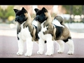 DOG BREED Best EXPENSIVE Fastest Dog Breed [Mr Fahey]