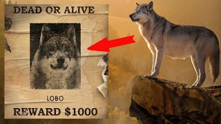 The most intelligent and cunning wolf, People called him the King of the valley