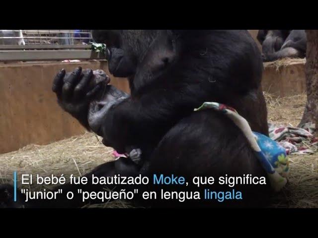 El parto de una gorila en el zoo de Washington