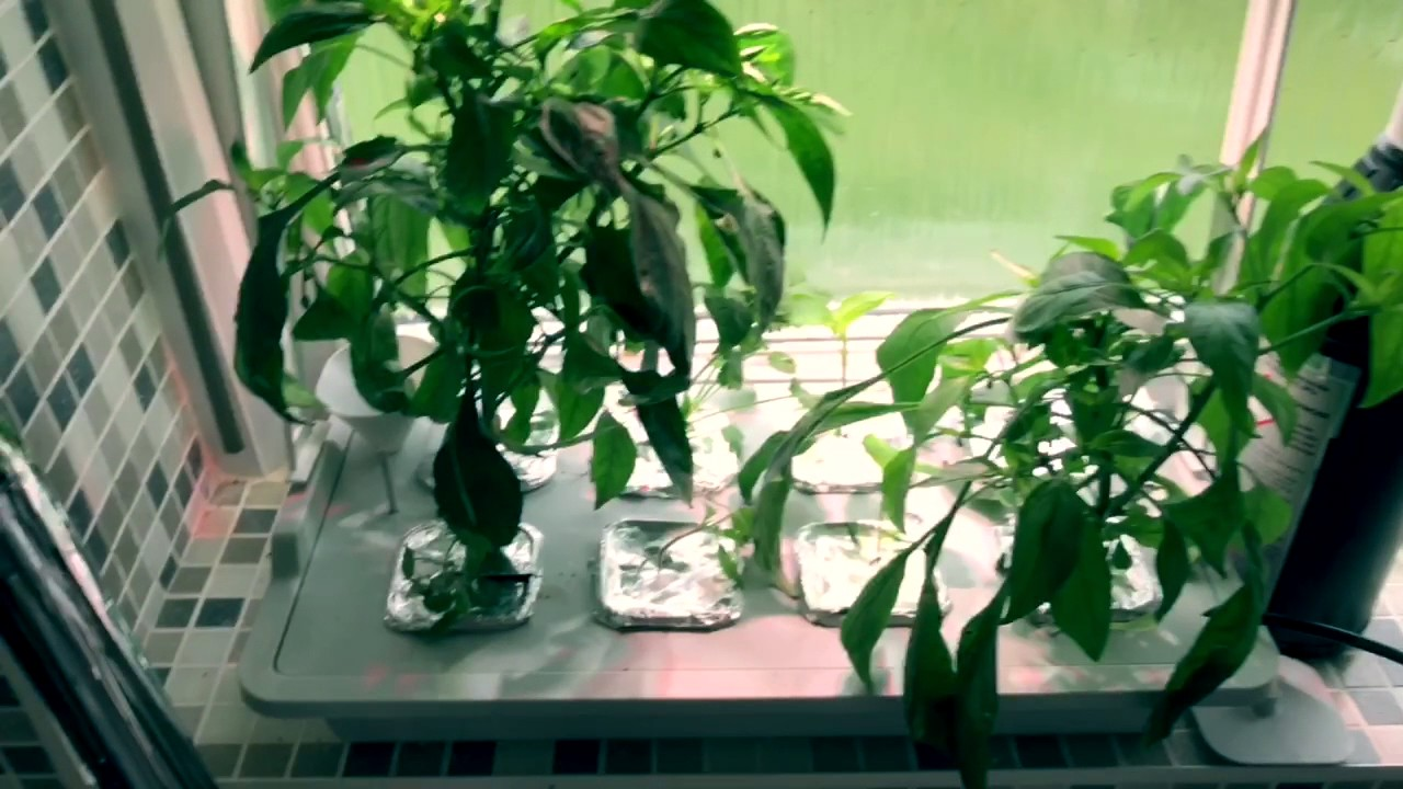 Ikea Hydroponics Chilli Growing Topping Off And Pinching Out