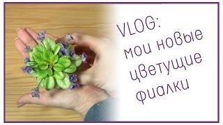 VLOG: мои новые цветущие фиалки(В этом видео покажу и расскажу, как поживает мой лист-гигант Willodene, и как цветут первый раз сорта Bertie's Tammy..., 2015-01-13T21:23:21.000Z)