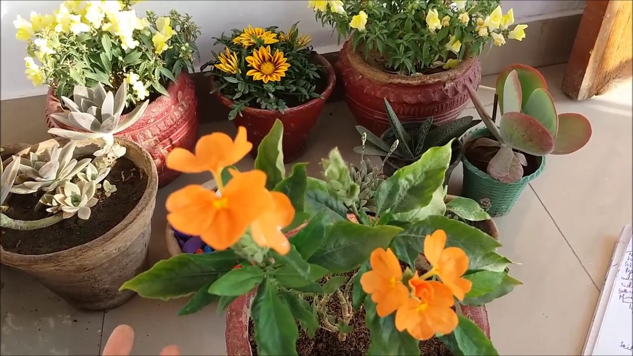 How to Grow Crossandra Plant N All Care Tips(With English Subtitles)