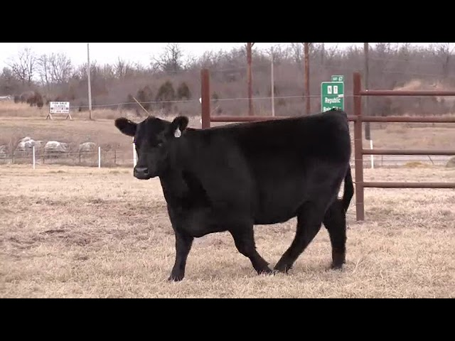 Missouri Angus Futurity Lot 46