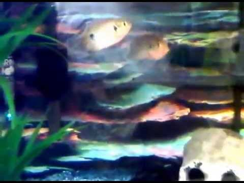 Jewel cichlid pair mating ritual