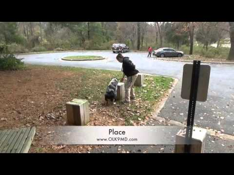 Australian Shepherd puppy dog training, Off Leash K9 Training, Maryland