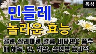 [#민들레효과] 민들레의 놀라운 효능 10가지 (콜린,…