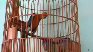 Download Video Suara Kicau Burung Anis Merah Teler Keras Juara MP3 3GP MP4