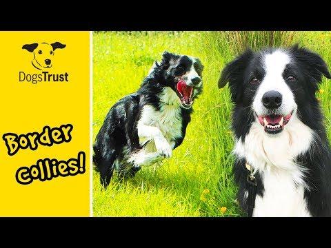 Brilliant, Beautiful Border Collies Compilation! | Dogs Trust