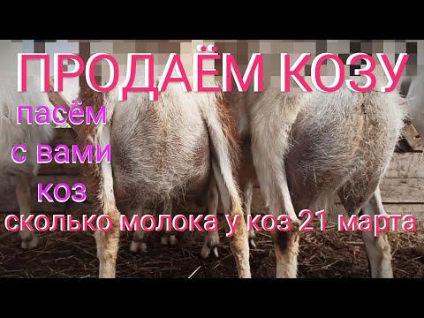 ❤️ Козы. Козлята. Сколько молока 21 марта 2020 г. Кормление козлят. Пасём коз. Продаём козу.