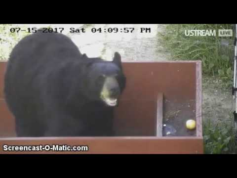 4pm NABC Bear Enrichment with Sharon ~~ 7/15/2017