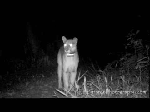 Florida Panther calling for a mate, then marking.