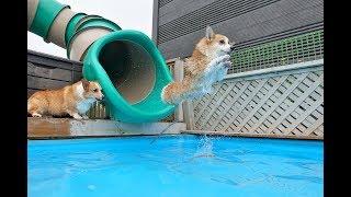 12 corgis swimming in the pool