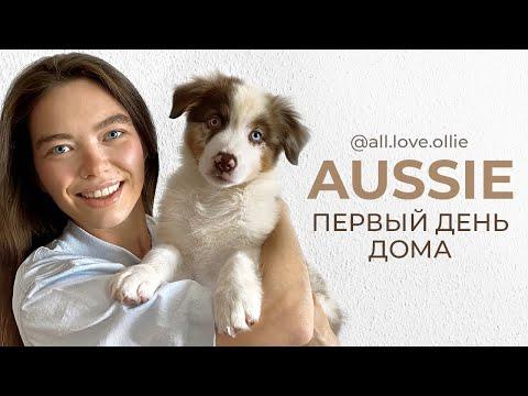 Первый день с щенком АУССИ (австралийская овчарка)