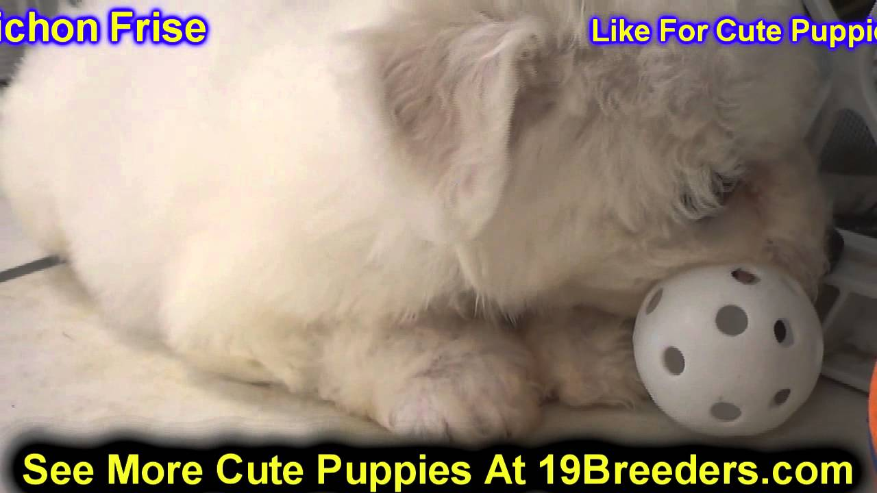 Bichon Frise, Puppies, Dogs, For Sale, In Nashville ...