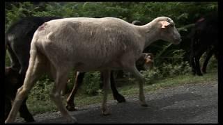 En Haute Corse , la passion d'un berger
