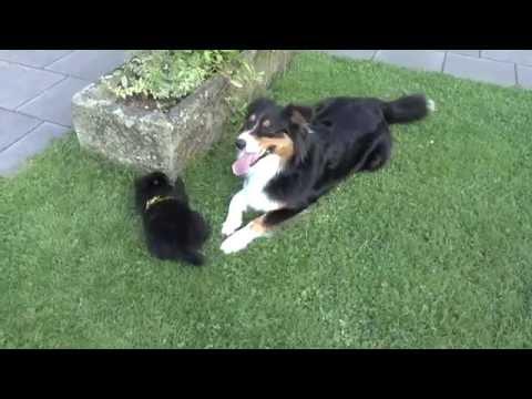 Mein Welpe beißt - Erziehung Beißhemmung - Pomeranian Welpe Australian Shepherd Zwergspitz