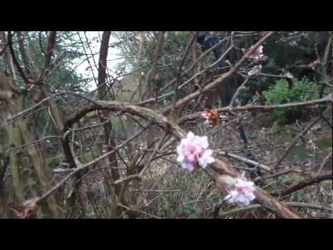 Viburnum bodenensas - Úlfarunni - Skrautrunni -  Geitatoppsætt