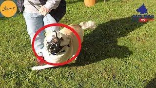 Séquence terrible d'un chien Égyptien agressif