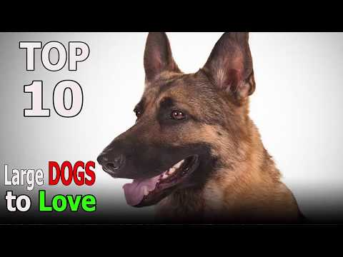 Top 10 Large Dog Breeds That Are Impossible Not to Love | Top 10 animals