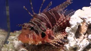 キリンミノ(麒麟蓑) Zebra turkeyfish / Zebra lionfish