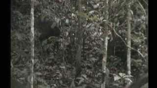 Wild Boars (Peccary) in Madidi Jungle, Amazon Rainforest, Bolivia - Jabali - Cerdo Salvaje