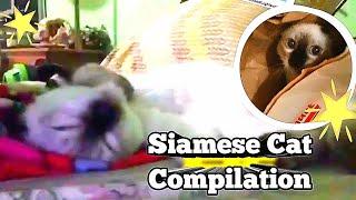 SIAMESE CAT COMPILATION 2.0/Cute Cat Siamese, #short
