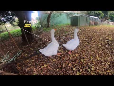 Naughty Geese Game - Goose Goose Goose