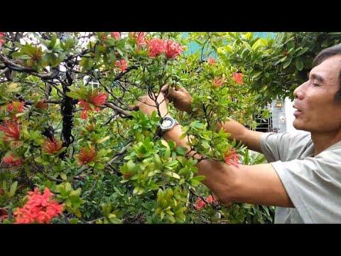 Chủ tịch hội Sinh vật cảnh chia sẻ uốn cây bông trang lá nhỏ 0985914628 | mê bonsai