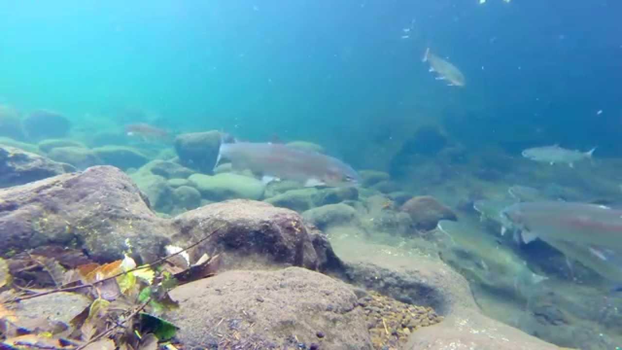 Siletz steelhead youtube for Siletz river fishing report