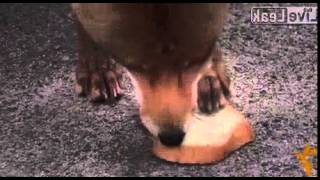 The Sandwich-making Chornobyl Fox
