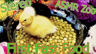 Cute Baby Ducks Eating Peas🦆Animal ASMR Sounds🦆Ducklings First Fast Food Eating🦆Pet Duck Triggers P2