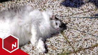 Katten Pelle spiser kattemynte