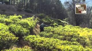 Pain of peasant : Tea cultivation in Uttarakhand, Video Volunteers Vipin Reports