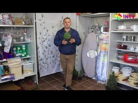 "Ель сизая ""Alberta Globe"" (Picea glauca)"