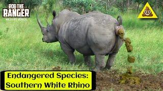 Rare Southern White Rhino Marking His Territory | Ceratotherium Simum Simum