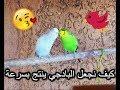 صوت تزاوج طيور البادجي لتحفيزها