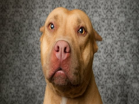 Why Are Pit Bulls Banned? How Media Hysteria Fueled Stupid Laws