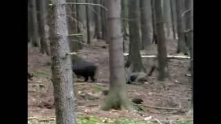wild boar hunt kill shots