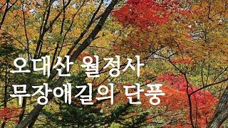 오대산 월정사의 가을풍경, 전나무숲길 무장애탐방로 단풍…