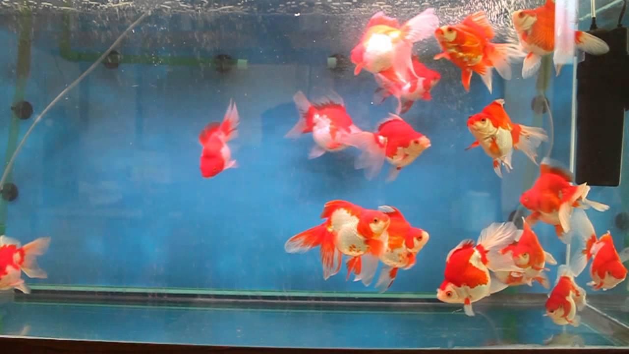 Last Batch Of Short Tail Ryukin Goldfish On Sale Soon By