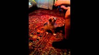 видео Щенок не дает спать ночью, режим дня собаки | Чихуахуа Софи